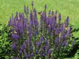 Blüten-Salbei 'Blaukönigin', Salvia nemorosa 'Blaukönigin', Topfware