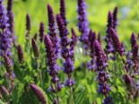 Blüten-Salbei 'Bordeaux Blue Improved', Salvia nemorosa 'Bordeaux Blue Improved', Topfware