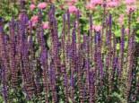 Blüten-Salbei 'Caradonna', Salvia nemorosa 'Caradonna', Topfware