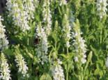 Blüten-Salbei 'Compact White', Salvia nemorosa 'Compact White', Topfware