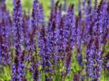 Blüten-Salbei 'Mainacht', Salvia nemorosa 'Mainacht', Topfware
