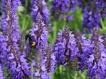 Blüten-Salbei 'Marcus' ®, Salvia nemorosa 'Marcus' ®, Topfware