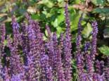 Blüten-Salbei 'Merleau Blue' ®, Salvia nemorosa 'Merleau Blue' ®, Topfware