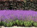 Blüten-Salbei 'Ostfriesland', Salvia nemorosa 'Ostfriesland', Topfware