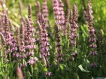 Blüten-Salbei 'Rosakönigin', Salvia nemorosa 'Rosakönigin', Topfware