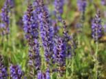 Blüten-Salbei 'Rügen', Salvia nemorosa 'Rügen', Topfware