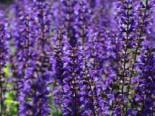 Blüten-Salbei 'Viola Klose', Salvia nemorosa 'Viola Klose', Topfware