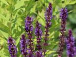 Blüten-Salbei 'Wesuwe', Salvia nemorosa 'Wesuwe', Topfware