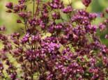 Blumen-Dost 'Hopleys', Origanum laevigatum 'Hopley', Topfware