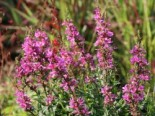 Blut-Weiderich 'Robert', Lythrum salicaria 'Robert', Topfware