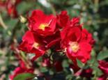 Bodendecker-Rose 'Alcantara' ®, Rosa 'Alcantara' ®, Wurzelware