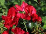 Bodendecker-Rose 'Apache' ®, 15-30 cm, Rosa 'Apache' ®, Topfware