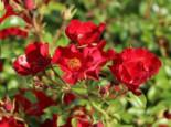 Bodendecker-Rose 'Bassino' ®, Rosa 'Bassino' ®, Topfware