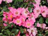 Bodendecker-Rose / Beetrose 'Fortuna' ®, Rosa 'Fortuna' ® ADR-Rose, Containerware
