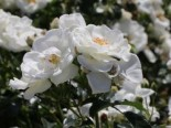 Bodendecker-Rose 'Innocencia' ®, Rosa 'Innocencia' ® ADR-Rose, Containerware