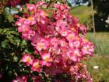 Bodendecker-Rose 'Juanita' ®, Rosa 'Juanita' ® ADR-Rose, Wurzelware