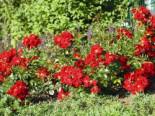Bodendecker-Rose 'Matador' ®, Rosa 'Matador' ® ADR-Rose, Wurzelware