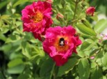 Bodendecker-Rose 'Red Foxi ®', Rosa rugosa 'Red Foxi ®', Topfware