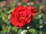 Bodendecker-Rose 'Heidekind' ®, Rosa 'Heidekind' ®, Wurzelware