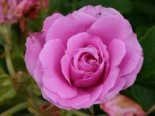 Rosa 'Romantic Roadrunner' ®