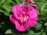 Bodendeckerrose 'Rote Apart', Rosa 'Rote Apart', Containerware