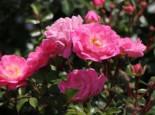 Bodendeckerrose 'Satina' ®, Stamm 90 cm, Rosa 'Satina' ® ADR-Rose, Stämmchen