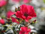 Bodendeckerrose 'Stadt Rom' ®, Stamm 60 cm, Rosa 'Stadt Rom' ® ADR-Rose, Stämmchen
