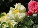 Bodendeckerrose 'Sunny Rose' ®, Rosa 'Sunny Rose' ® ADR-Rose, Containerware