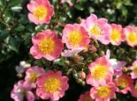 Bodendeckerrose 'Topolina' ®, Rosa 'Topolina' ® ADR-Rose, Containerware
