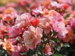 Bodendecker-Rose 'Jazz' ®, Rosa 'Jazz' ®, Containerware