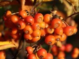 Bonsai-Apfel / Zwerg-Zierapfel 'Pomzai' ®, Stamm 80 cm, 100-120 cm, Malus 'Pomzai' ®, Stämmchen