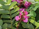 Borstenakazie Macrophylla