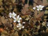 Braunblättriger Storchschnabel 'Sanne', Geranium sessiliflorum 'Sanne', Topfware