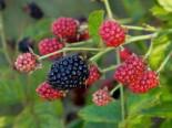 Brombeere BrazelBerry ® 'Baby Cakes' ®, 30-40 cm, Rubus fruticosus BrazelBerry ® 'Baby Cakes' ®, Containerware