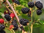 Brombeere 'Dirksen Thornless', 40-60 cm, Rubus fruticosus 'Dirksen Thornless', Containerware