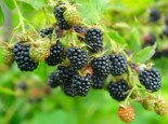 Brombeere 'Loch Tay' (S), 40-60 cm, Rubus fruticosus 'Loch Tay' (S), Containerware
