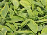 Buntblättriger Salbei 'Icterina', Salvia officinalis 'Icterina', Topfware