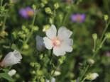 Busch-Malve 'Frederique', Lavatera x olbia 'Frederique', Topfware