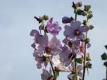Busch-Malve 'Lilac Lady', Lavatera x olbia 'Lilac Lady', Topfware