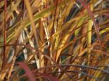 Chinaschilf 'David', Miscanthus sinensis 'David', Topfware