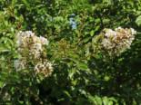 Chinesische Kräuselmyrte 'Enduring Summer White', 30-40 cm, Lagerstroemia indica 'Enduring Summer White', Containerware