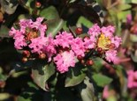 Chinesische Kräuselmyrte 'Rhapsody in Pink', 30-40 cm, Lagerstroemia indica 'Rhapsody in Pink', Containerware