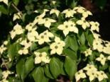 Chinesischer Blumen-Hartriegel 'Barmstedt', 40-60 cm, Cornus kousa var. chinensis 'Barmstedt', Containerware