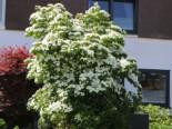 Chinesischer Blumen-Hartriegel, 175-200 cm, Cornus kousa var. chinensis, Containerware