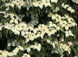 Chinesischer Blumen-Hartriegel 'National', 80-100 cm, Cornus kousa var. chinensis 'National', Containerware