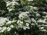 Chinesischer Blumen-Hartriegel 'Schmetterling', 40-60 cm, Cornus kousa var. chinensis 'Schmetterling', Containerware