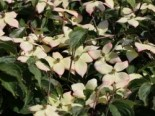 Cornus kousa var. chinensis 'Wieting's Select'