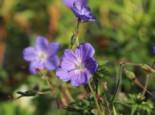 Clarkes Storchschnabel 'Kashmir Blue', Geranium clarkei 'Kashmir Blue', Topfware