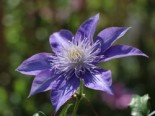 Clematis 'Crystal Fountain' / 'Fairy Blue' TM Evipo038 (N), 60-100 cm, Containerware