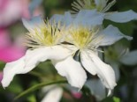 Clematis 'Dr. Penelope' ®, 60-100 cm, Clematis montana 'Dr. Penelope' ®, Containerware